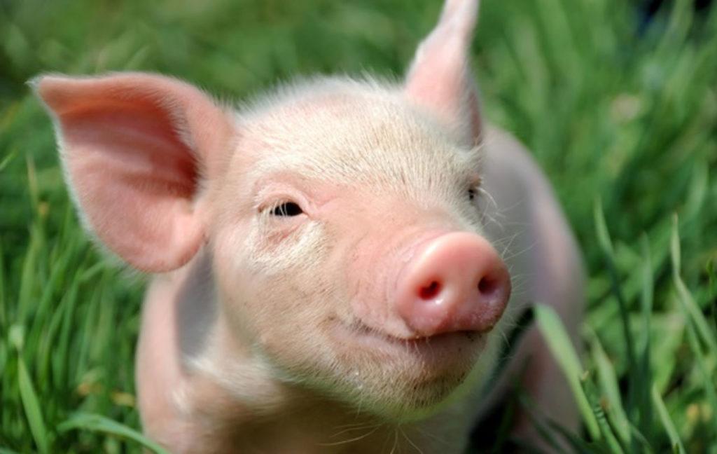 свинья, поросенок,